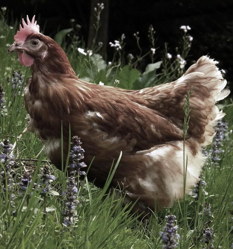 pienso ecologico para gallinas
