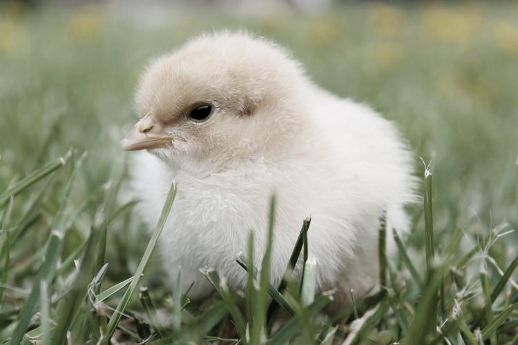 pienso ecologico para pollos