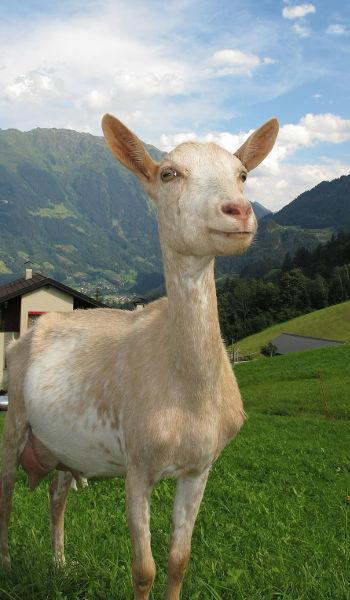 pienso ecologico caprino ovino