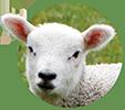 piensos ecológicos corderos