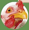 pinsos ecològics per gallines
