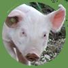 pinsos ecològics porcs