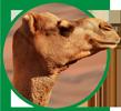 pinsos ecològics camells